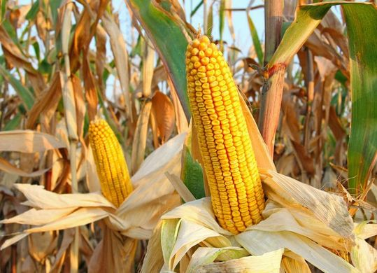 New corn will soon be listed, a variety of channels will broaden sales.